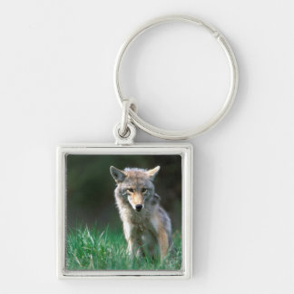 Canada, British Columbia, Coyote (Canis latrans) Keychain