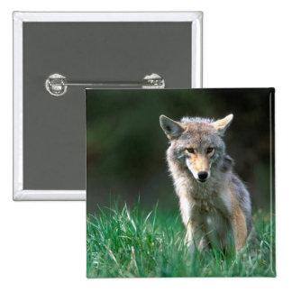 Canada, British Columbia, Coyote (Canis latrans) Pinback Button