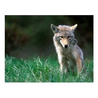Canada, British Columbia, Coyote (Canis latrans) Postcard