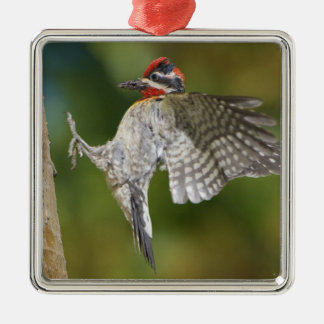 Canada, British Columbia,Red-naped Sapsucker, Christmas Tree Ornaments