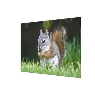 Canada, British Columbia, Red Squirrel Pine Canvas Print