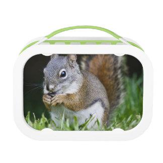 Canada, British Columbia, Red Squirrel Pine Lunch Box