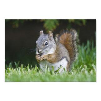 Canada British Columbia Red Squirrel Pine Photograph