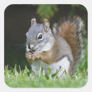 Canada British Columbia Red Squirrel Pine Square Stickers