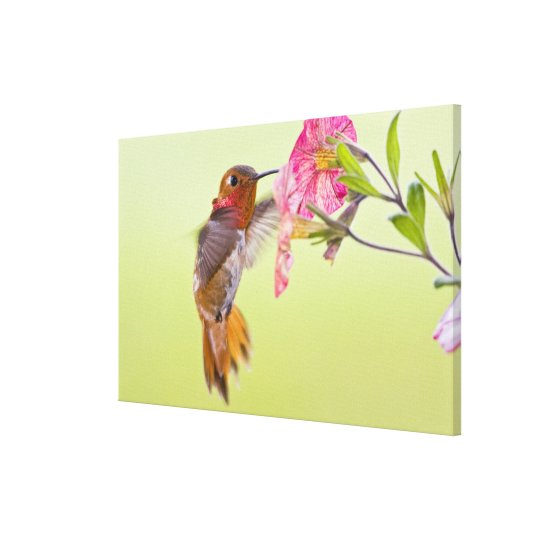 Canada, British Columbia, Rufous Hummingbird Canvas Print
