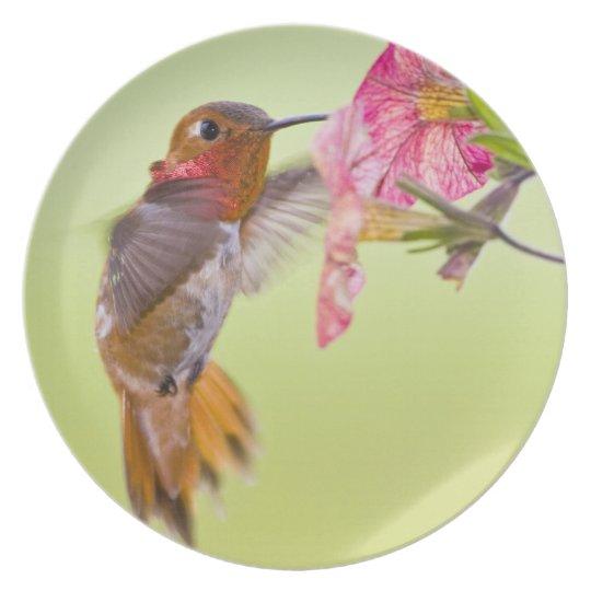 Canada, British Columbia, Rufous Hummingbird Melamine Plate