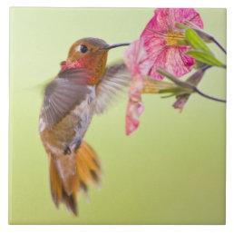 Canada, British Columbia, Rufous Hummingbird Tile