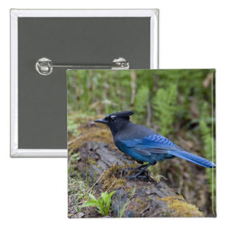 Canada:  British Columbia, Yoho NP, Stellar jay, Button