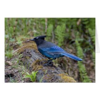 Canada:  British Columbia, Yoho NP, Stellar jay, Card