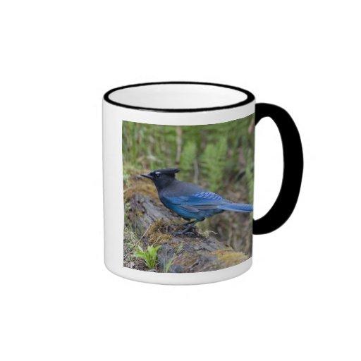 Canada:  British Columbia, Yoho NP, Stellar jay, Mug