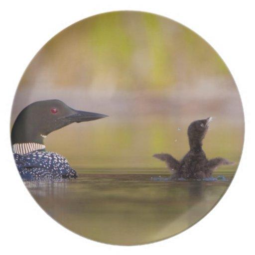 Canadá, Columbia Británica, bribón común, criando  Platos De Comidas