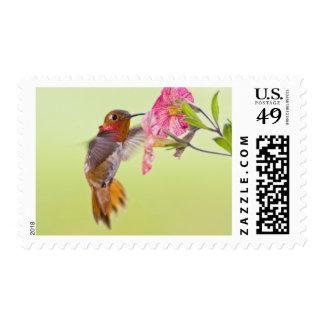 Canadá Columbia Británica colibrí rufo
