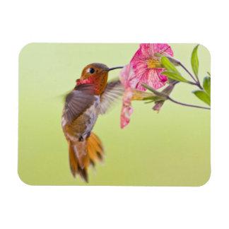 Canadá, Columbia Británica, colibrí rufo Imán Rectangular