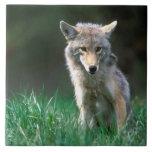 Canadá, Columbia Británica, coyote (latrans del Ca Azulejo Cuadrado Grande
