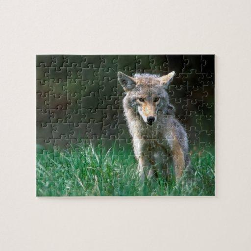 Canadá, Columbia Británica, coyote (latrans del Ca Rompecabeza Con Fotos