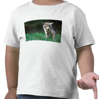 Canadá, Columbia Británica, coyote (latrans del Camisetas