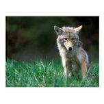Canadá, Columbia Británica, coyote (latrans del Postales