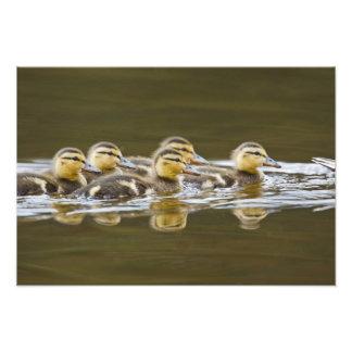 Canadá, Columbia Británica, Kamloops, pato silvest Arte Con Fotos