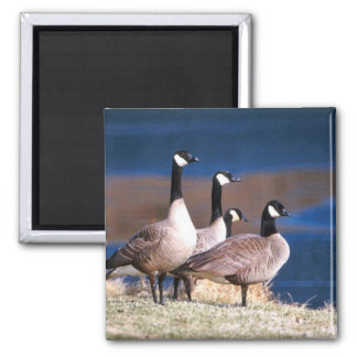 Canada geese 2 inch square magnet