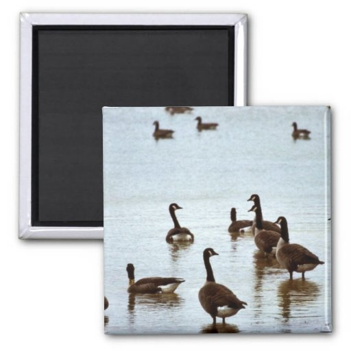 Canada geese at an Ohio wetland area 2 Inch Square Magnet