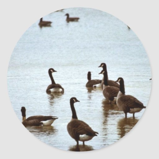 Canada geese at an Ohio wetland area Stickers