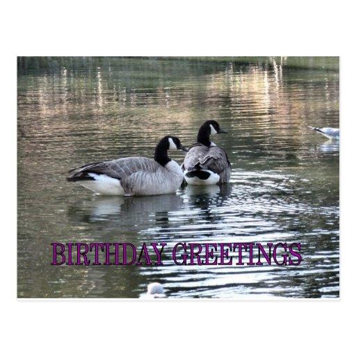 Canada Geese Birthday Greetings Postcard