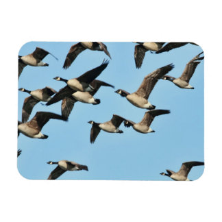 Canada Geese Flock in Flight Vinyl Magnet
