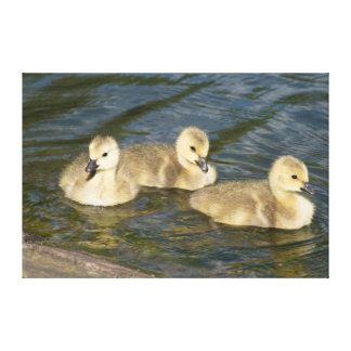 Canada Geese Goslings Canvas Print