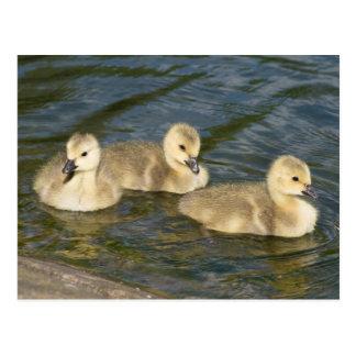 Canada Geese Goslings Postcard