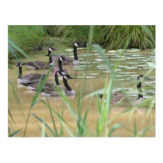 Canada Geese Hidden Serenity Nature Postcard