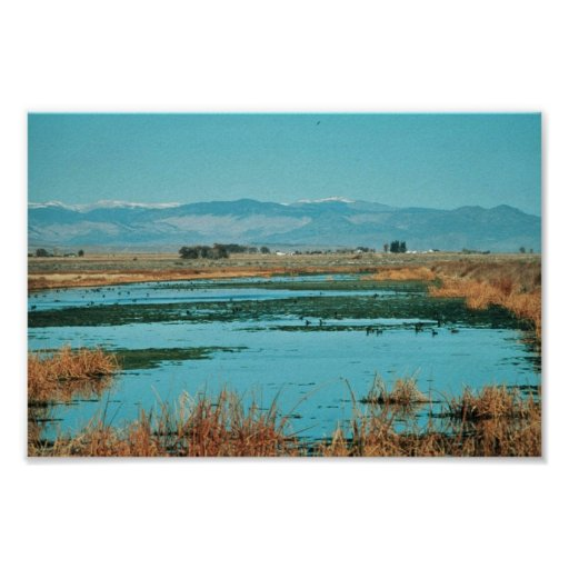 Canada geese in wetland poster