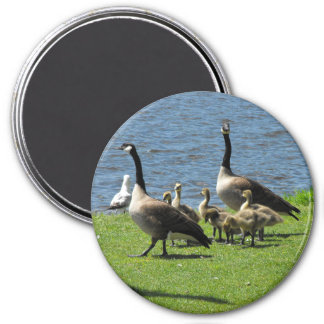 Canada Geese on the Grass by the Water Magnet