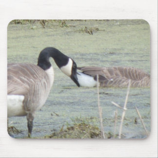 Canada Geese pair in algae covered swampy pond Mouse Pad