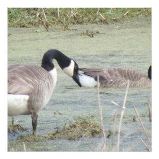 Canada Geese pair in algae covered swampy pond Photo Print