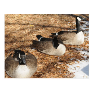 Canada Geese Post Card