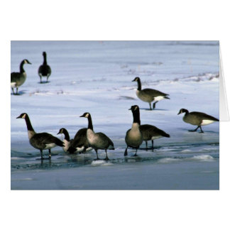 Canada Geese, standing on frozen river Greeting Card