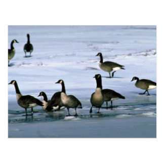 Canada Geese, standing on frozen river Postcard