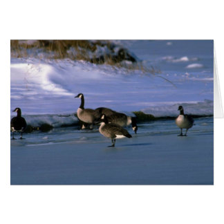 Canada Geese, standing on ice Greeting Card