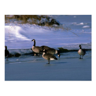 Canada Geese, standing on ice Postcard