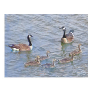 Canada Geese With Babies Postcard
