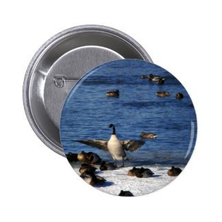 Canada goose and mallards pinback buttons