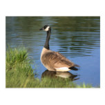 Canada Goose Animal Art Postcard