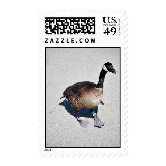 Canada goose at Goose Lake, Anchorage Postage Stamp