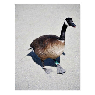 Canada goose at Goose Lake, Anchorage Postcard