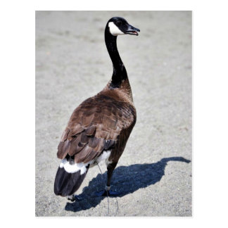 Canada goose at Goose Lake, Anchorage Postcards