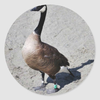Canada goose at Goose Lake, Anchorage Stickers