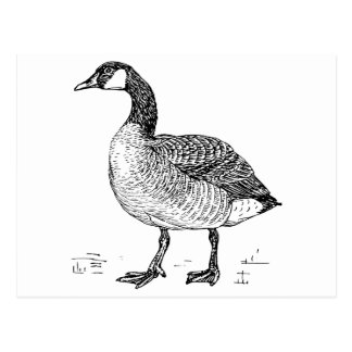 Canada Goose Bird Art Postcard