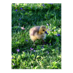 Canada Goose Chick on Grass with Flowers Postcard