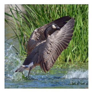 Canada Goose Coming in for a Landing Acrylic Wall Art