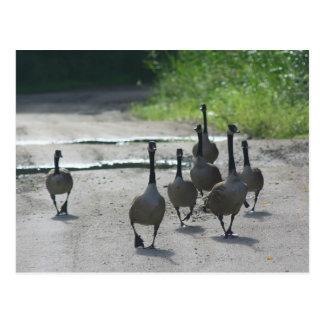 Canada Goose Family Nature Photo Postcard